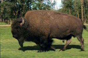Буффало - американский бизон