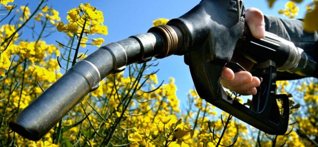 Борщевик как источник биотоплива: перспективы